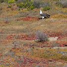 Pair of White Bellied Sea Eagles by mncphotography