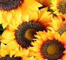Sunflowers in Cortona, Tuscany, Italy Sticker