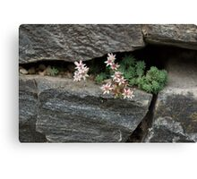 Life on Bare Rock - Pale Pink Succulents on the Wall Canvas Print