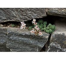 Life on Bare Rock - Pale Pink Succulents on the Wall Photographic Print