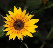 Flashy Sunflower by aprilann