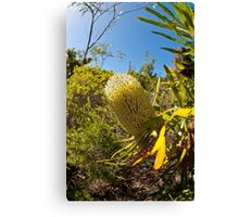 Australian Bottle Brush - Bundaberg - Australia Canvas Print
