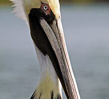 Pelican Portrait by sally-w