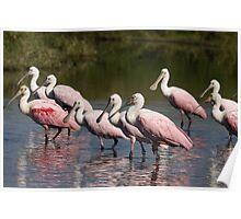 Roseate Spoonbill Birds Poster
