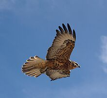 Galapagos Hawk Flying by sally-w