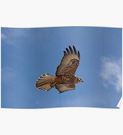 Galapagos Hawk Flying Poster