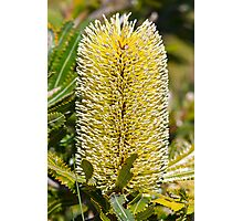 Australian Bottle Brush - Bundaberg - Australia Photographic Print