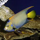 Colorful Angelfish by sally-w