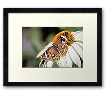 Buckeye on a Daisy Framed Print