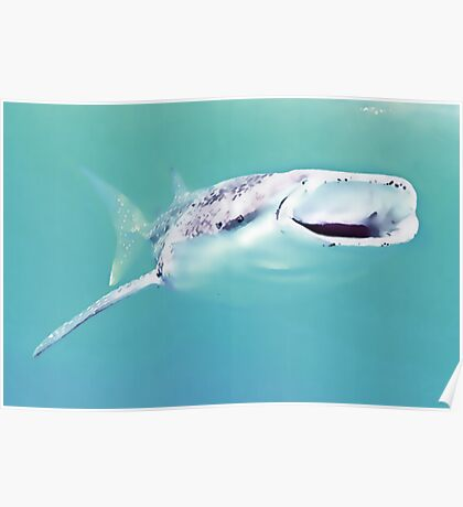 The whale shark (Rhincodon typus) Poster