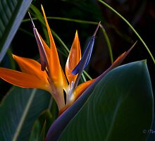 Bird of Paradise (Strelitzia) by Lightengr