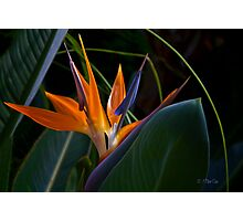 Bird of Paradise (Strelitzia) Photographic Print