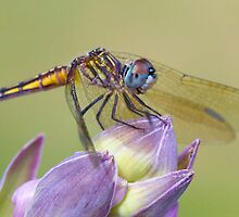 Female Blue Dasher - Dragonfly on Hosta Bud by Daniel Cadieux