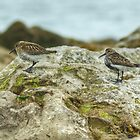 Dunlin by VoluntaryRanger