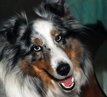 Sheltie Sweetness by jodi payne
