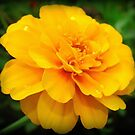 Marigold Splendor by PatChristensen