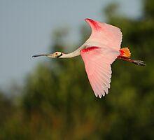 Roseate Spoonbill in Flight by William C. Gladish