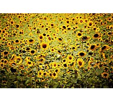 Field of sunflower dreams... Photographic Print