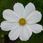 White Cosmos by Fara