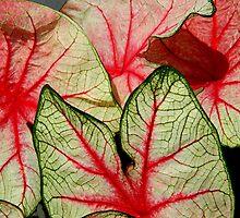 Caladium Leaves   ^ by ctheworld