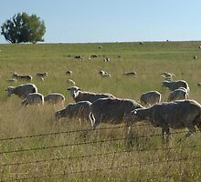 AND WHO ARE YOU?  SHEEP NEAR BIG TIMBER, MT by May Lattanzio