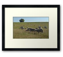 AND WHO ARE YOU?  SHEEP NEAR BIG TIMBER, MT Framed Print