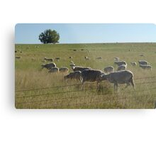 AND WHO ARE YOU?  SHEEP NEAR BIG TIMBER, MT Metal Print
