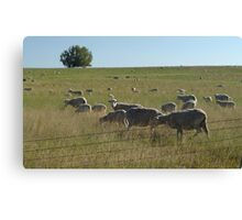 AND WHO ARE YOU?  SHEEP NEAR BIG TIMBER, MT Canvas Print
