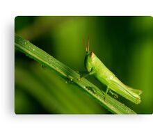 new-born grasshopper Canvas Print