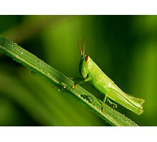 new-born grasshopper Photographic Print