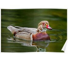 Apricot Wood Duck  Poster