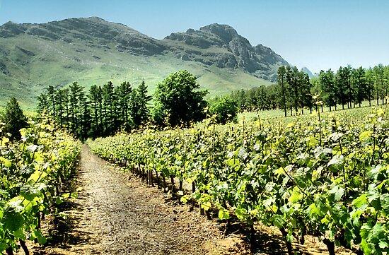 Vineyards by Carole-Anne