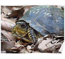 Eastern Box Turtle Poster