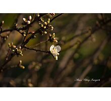 Spring Blossums and Buds Part 2 Photographic Print