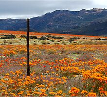 WILDFLOWERS OF  NAMAKWA, WESTERN CAPE, SOUTH  by Magriet Meintjes