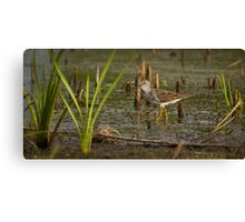 Greater Yellowleg Canvas Print