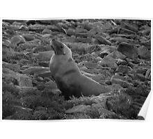 Australian Sealion on the rocks - Fitzgerald Bay, South Australia Poster