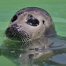 Seal Pup ! by jdmphotography