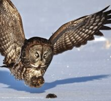 Great Grey owl catches a mouse Sticker