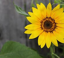 Sunflower Sunrise by aprilann