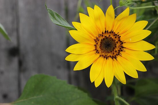 Sunflower Sunrise by aprilann