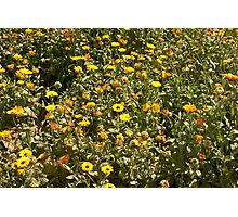 Field of yellow flowers inside the Garden of 5 Senses Photographic Print