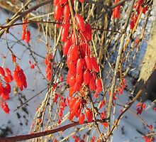 berries of barberry by velinadesign