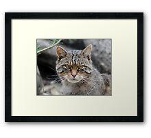 Highland Tiger. Framed Print