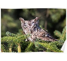 Inquisitive Screech Owl Poster