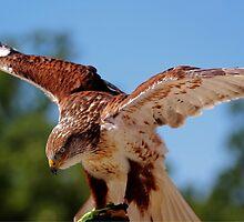 Ferruginous Hawk by Larry Trupp