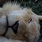 White Lion by Paul Rees-Jones