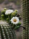 Magnificant Bloom of the Saguaro  by Lucinda Walter