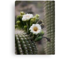 Magnificant Bloom of the Saguaro  Metal Print