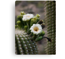 Magnificant Bloom of the Saguaro  Canvas Print